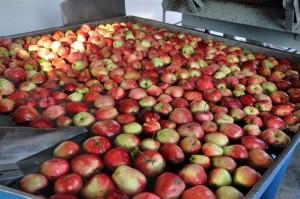 czas mycia jablek na sok